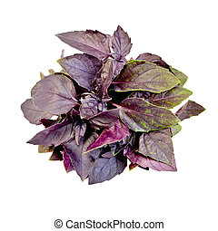 Basil purple bundle - Bundle of purple basil isolated on...