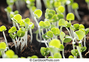 Basil seedlings - Small basil (Ocimum basilicum) plant...