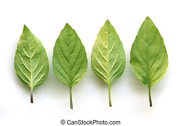 Basil Set - Set of basil leaves over white background