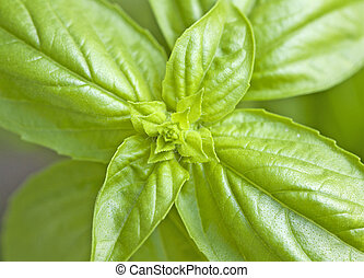 Basil - Strict close up of leaves of basil