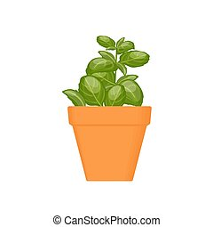 basil vector culinary herb in terracotta pot. Green growing....