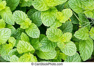 basilic leaves