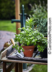 basilic, table, pot, jardin, frais