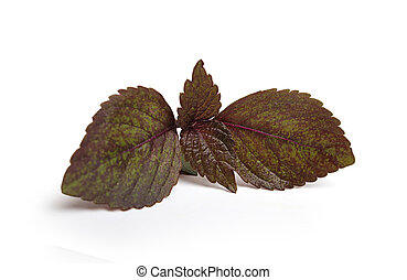 basilicum, fris, leaf.