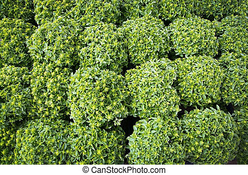 Basil closeup full frame herbal gardening background.