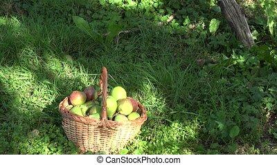 Basket full of organic pear fruits under fruiter tree in orchard garden. Tilt up. 4K