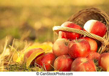 Basket full of red juicy apples scattered in a grass in autumn garden