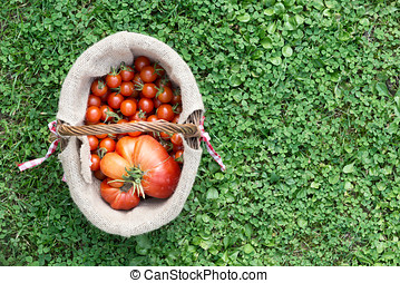 basket full of red tomatoes picked from the  garden