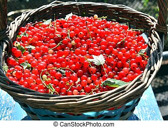 Basket full of ripe red currant in the garden