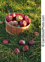 Basket of apples in the grass