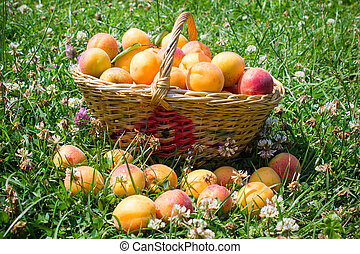 basket of apricots in the grass
