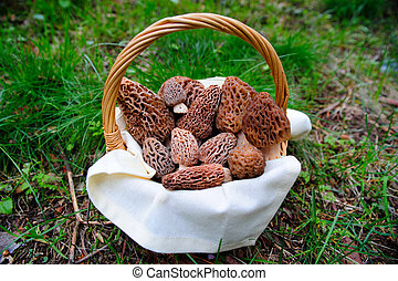 Basket Of fresh Morel Mushrooms