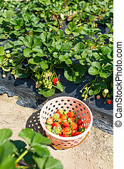 Basket of fresh strawberries in the field