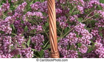 Basket of freshly picked oregano between clover - Basket of...