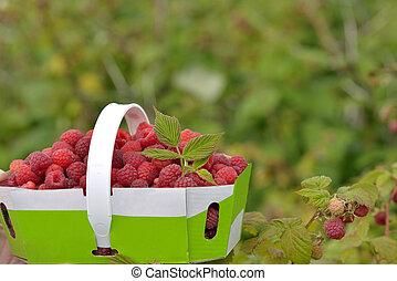 Basket of freshly picked raspberries