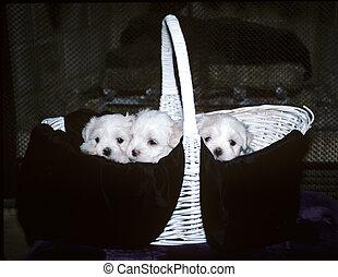Basket of Maltese Puppies