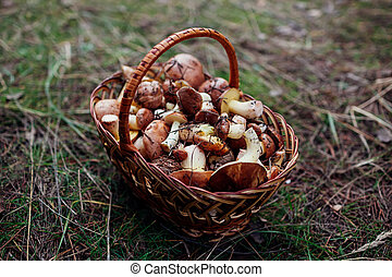 Basket of oily mushrooms. Autumn harvesting in forest. Close up