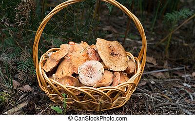 A closeup photo of full basket of pine mushrooms.