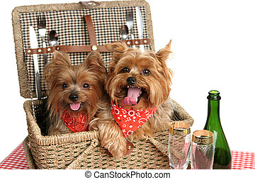 Basket of Yorkies - Two adorable yorkshire terriers in a...