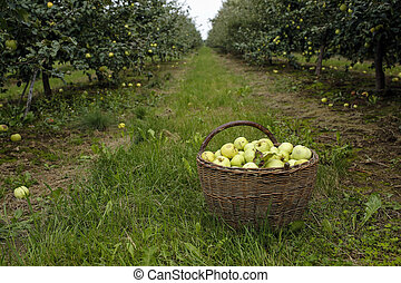 basket with apples in fruit orchard