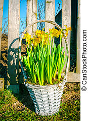 Basket with daffodils in the garden