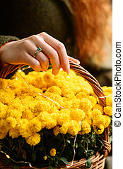 Basket with flowers, yellow chrysanthemums in the basket serve as a decoration for a photo shoot.