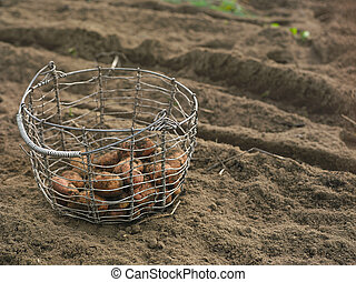 Basket with raw potatoes - A metal basket with raw potatoes...