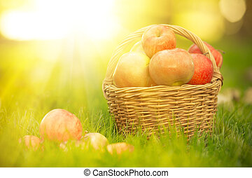 Basket with red apples in autumn outdoors. Healthy eating...