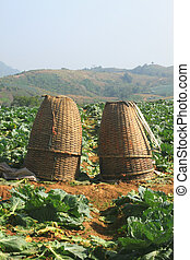 baskets in Cabbage fields