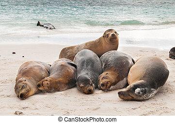Basking Galapagos Sea Lions sleeping on a beach - A row of...