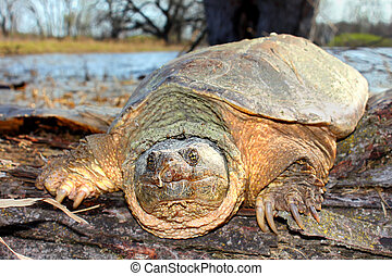 Basking Snapping Turtle (Chelydra serpentina)