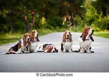 basset, groupe, chiens