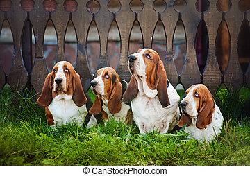 basset, herbe, groupe, séance, chien de chasse, chiens