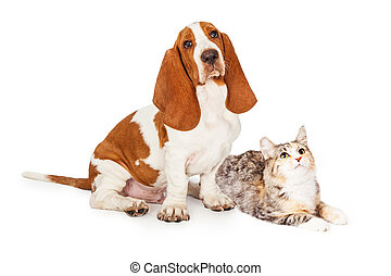 Basset Hound Dog and Calico Cat Together Looking Up