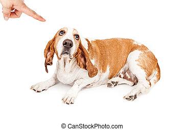 Basset Hound Dog Being Punished
