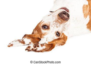 Basset Hound Dog Upside Down Closeup