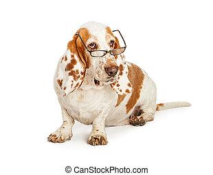 Basset Hound Dog Wearing Glasses