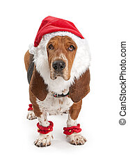 Basset Hound dog wearing a santa claus outfit. Isolated on white