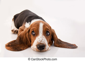 basset hound puppy lying down looking up on white background