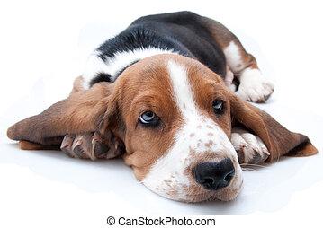 basset hound puppy lying down on white background