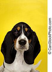 basset, junger hund, auf, a, gelber hintergrund