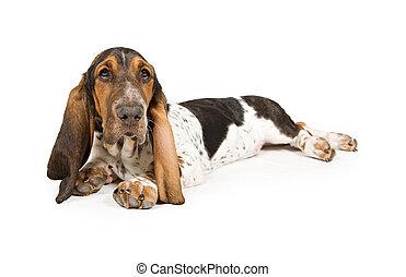 basset, junger hund, aufzeichnend
