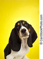 Basset, junger Hund, jagdhund, hintergrund, gelber