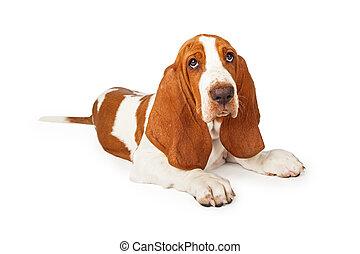 Basset, junger Hund, muede, liegende, schauen, jagdhund