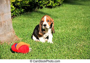 basset, junger hund, spielzeug