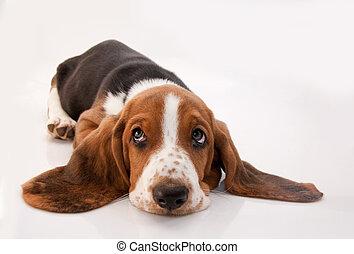 basset, junger hund