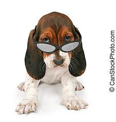 basset, junger hund, tragende sunglasses