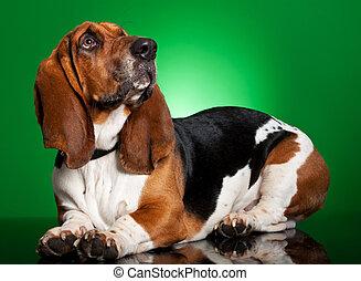 basset, perro verde, plano de fondo