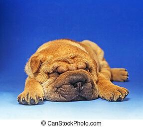 basset puppy sleeping in a blue background