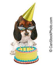 Basset, Tragen, jagdhund, sonnenbrille, junger Hund